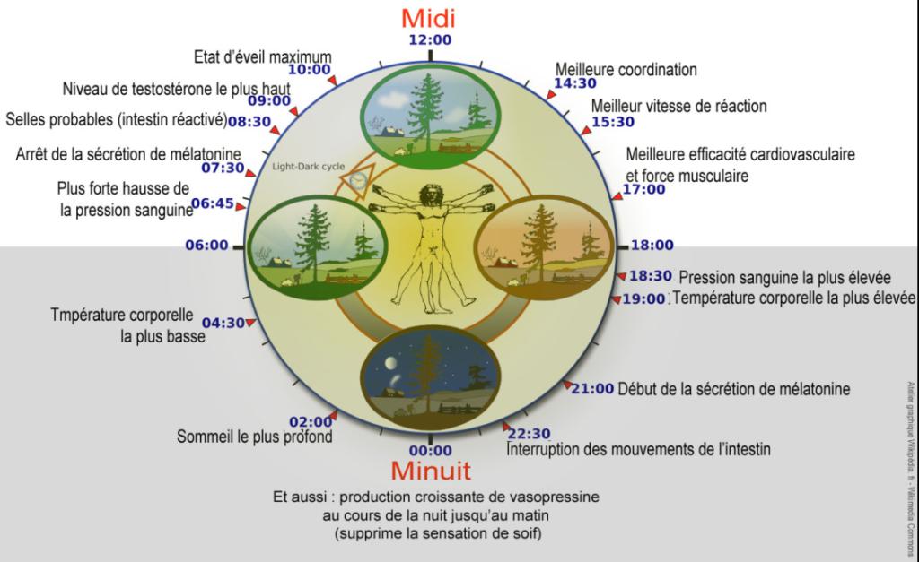 cycle circadien et sommeil